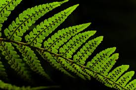 Free Picture Leaf Nature Fern Free Picture Leaf Flora Fern Nature Texture Plant Foliage