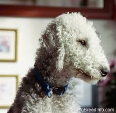 bedlington terrier genetic disease english dogs puppies bedlington terrier small dog breed