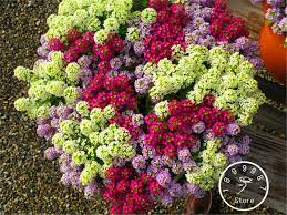 Flower Seeds Online - compare prices on alyssum flower seeds online shopping buy low
