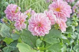 dahlias flowers can dahlias be grown as perennials tips on growing dahlias year