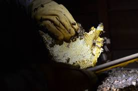 honeybee cut out extraction from an attic