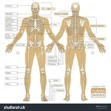 Anatomy And Physiology Skeletal System Test Human Skeletal System Parts Anatomy Human Anatomy Chart
