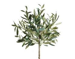 how to grow your own olive tree at home how to grow an olive tree
