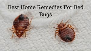 Bed Bug Home Remedies Best Home Remedies For Bed Bugs Pest Revenge