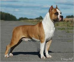 american pit bull terrier vs american staffordshire terrier the truth about pit bulls different types of pit bulls