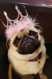 Birthday Pug Meme - best 27 birthday pug meme testing testing