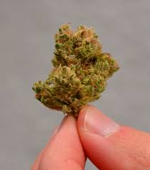 Santa Cruz County Christmas Tree Farms by California Cannabis Gets Thc Boost