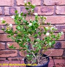 Fragrant Jasmine Plant - the 25 best jasmine plant ideas on pinterest jasmine plant