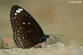 the butterfly rhopalocera singaporeana