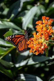 monarch butterfly habitat u2014 heritage garden