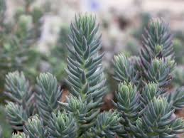 blue spruce sedum rupestre blue spruce blue spruce stonecrop world of