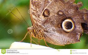blue morpho butterfly morpho peleides stock of