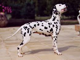 How Do Blind Dogs Know Where To Go Dalmatian Dog Wikipedia