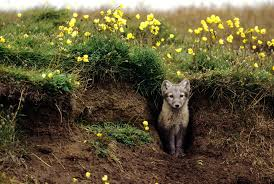 arctic foxes grow their own gardens