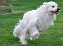 american eskimo dog black great pyrenees dog breed information pictures characteristics