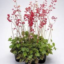 buy ornamental plant seeds india buy plant seeds