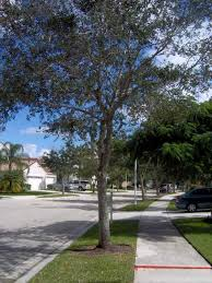 tree and sidewalk conflicts lippi consulting arborists