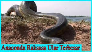 vidio film ular anaconda terbesar ular python anaconda raksasa ular terbesa di sungai