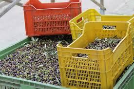 cassette per raccolta olive fare il migliore olio extravergine di oliva in 10 mosse ad offida