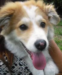 australian shepherd jack russell mix merlin the collie puppy adopted the dog liberator
