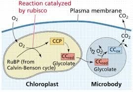 Where Do The Light Independent Reactions Occur Photosynthesis