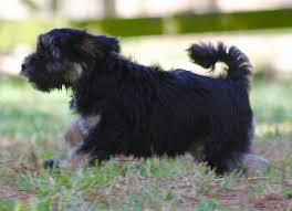 affenpinscher rescue seattle trisong tibetan terriers