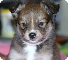 australian shepherd for sale california maura adopted puppy santa ana ca pomeranian australian