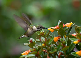 the hummingbird forum nematanthus gregarius