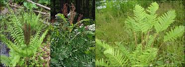 native ontario plants the pteridophyta part i true ferns u2013 the diversity of plants in
