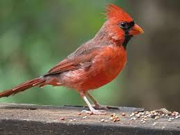 cardinals in my backyard but not on my team backyard bird nerd