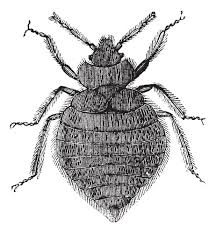 How Often Do Bed Bugs Reproduce How To Get Rid Of Bed Bugs Webmedicinecenter