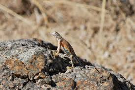 anolis tollis research on anolis lizards and other notes on