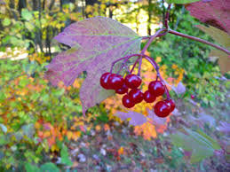 native plants of new mexico the university of maine cooperative extension cranberries