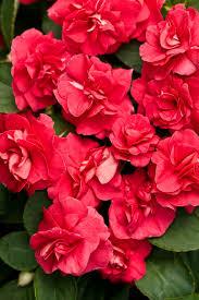 impatiens flowers rockapulco impatiens impatiens walleriana proven