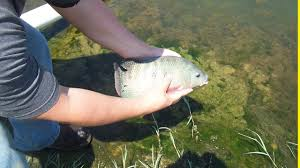 tilapia fish swimming in a pond youtube