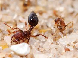 crazy ants smear acid over themselves to survive fire ants