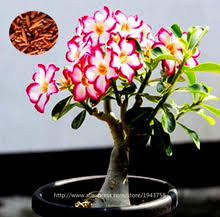 popular live trees for sale buy cheap live trees for sale lots