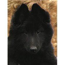 belgian sheepdog ohio belgian sheepdog puppy for sale near toledo ohio 7485d1bc 2821