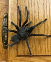 california family finds enormous tarantula in the kitchen daily
