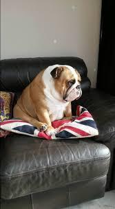 2286 best english bulldog my addiction images on pinterest
