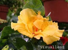 Yellow Hibiscus Flowers - hibiscus flower visuallens