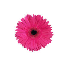 gerbera daisies buy wholesale fresh cut pink mini gerbera flowers