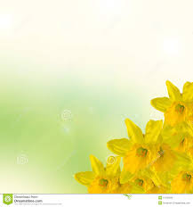 colors close to yellow yellow narcissus flower close up green to yellow degradee