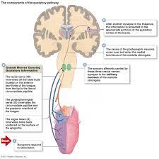 Cranial Nerves Worksheet Diagram Of The Nerve Cell Diagram Images Wiring Diagram