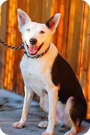 australian shepherd california novato ca australian shepherd mix meet georgia a dog for