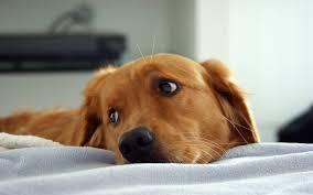 affenpinscher brown affenpinscher dogs 6968765