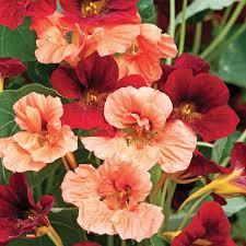 nasturtium flowers rumba nasturtium flowers and bulbs veseys
