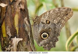 owl eye butterfly stock photos owl eye butterfly stock images