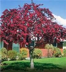 gleditsia ruby lace purchase bare rooted trees purple