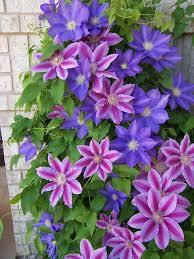 Purple Flower On A Vine - best 25 clematis ideas on pinterest clematis trellis climbing